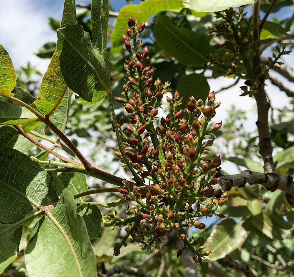 ضرورت محلول پاشی کلسیم در ابتدای تشکیل میوه پسته پسته