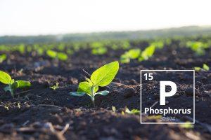 بررسی تاثير عنصر فسفر و علائم کمبود این عنصر در درختان پسته