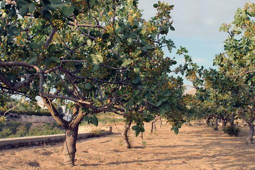 بررسی شرایط و تکنیک های تغذیه ای درختان پسته