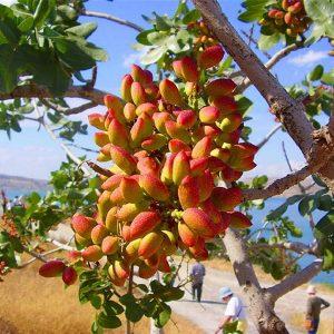 نقش عناصر ماکرو (پر مصرف ) در درختان پسته